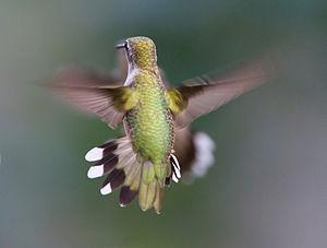Hummingbird_Aerodynamics_of_flight