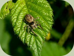Jumping-Spider-on-leaf1.jpg