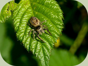 Jumping-Spider-on-leaf1.jpg