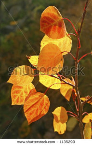 brilliant-autumn-aspen-leaves-in-the-sandia-mountains-of-central-new-mexico-1135290